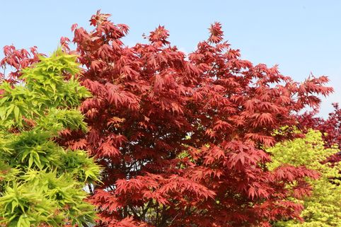 Fächer-Ahorn 'Yugare' - Acer palmatum 'Yugare'