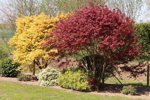 Fächerahorn im 2 Stück Sortiment - gelb und rot - Acer palmatum 'Atropurpureum' und 'Orange Dream' Paket