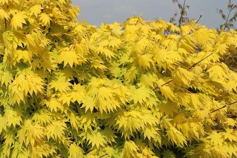 Japanischer Goldahorn 'Jordan' - Acer shirasawanum 'Jordan'