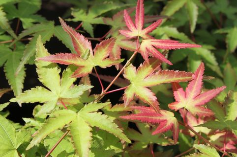 Japanischer Fächerahorn 'Little Princess' - Acer palmatum 'Little Princess'