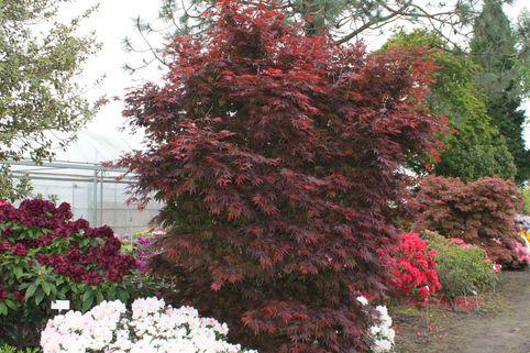 Fächerahorn 'Pixie' - Acer palmatum 'Pixie'