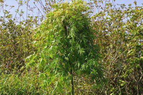 Fächerahorn 'Ryusen' - Acer palmatum 'Ryusen'