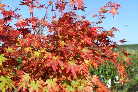 Fächerahorn 'Sangokaku' - Acer palmatum 'Sangokaku'