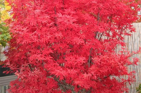 Fächerahorn 'Skeeter's Broom' - Acer palmatum 'Skeeter's Broom'
