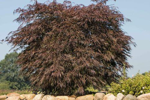 Fächer-Ahorn 'Tamukeyama' - Acer palmatum 'Tamukeyama'