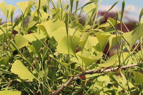 Fächerblattbaum 'Broom With Tubes' - Ginkgo biloba 'Broom With Tubes'