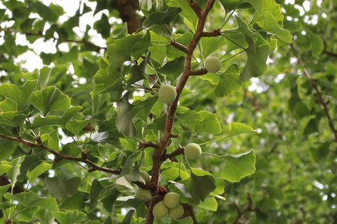 Fächerblattbaum / Ginkgobaum - Ginkgo biloba