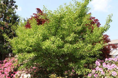 Fächerblattbaum 'Saratoga'