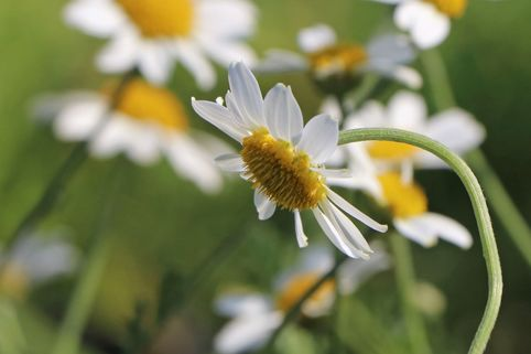 Färber-Hundskamille 'Tetworth' - Anthemis tinctoria 'Tetworth'