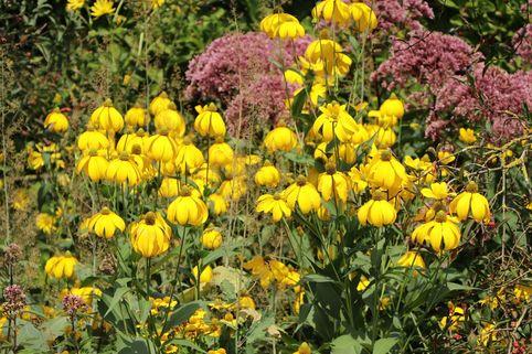 Fallschirm-Sonnenhut 'Juligold' - Rudbeckia nitida 'Juligold'