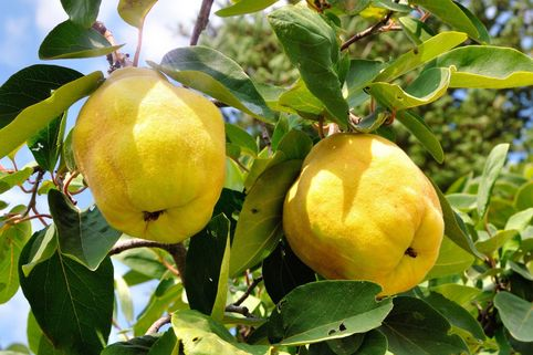 Familienbaum Quitte '2 verschiedene Sorten' - Cydonia / Apfel- und Birnenquitte an einer Pflanze