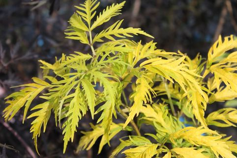 Farnblättriger Goldholunder 'Sutherland Gold' - Sambucus racemosa 'Sutherland Gold'