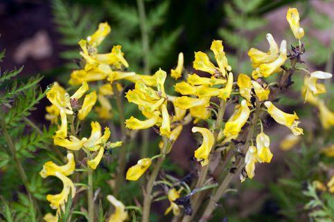 Farnblättriger Lerchensporn 'Manchu' ® - Corydalis cheilanthifolia 'Manchu' ®