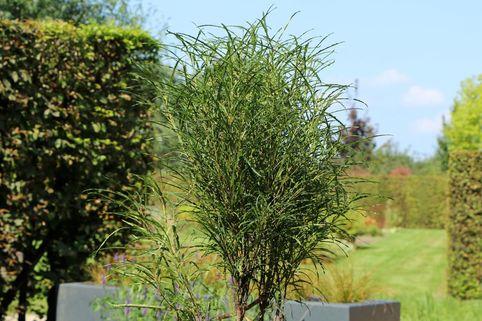 Farnblättriges Pulverholz 'Fine Line' ® - Rhamnus frangula 'Fine Line' ®
