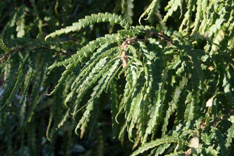 Farnmyrte - Comptonia peregrina