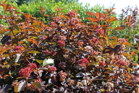 Fasanenspiere 'Diable d'Or' ® - Physocarpus opulifolius 'Diable d'Or' ®
