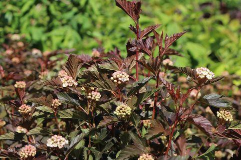 Fasanenspiere 'Summer Wine'  ® - Physocarpus opulifolius 'Summer Wine'  ®