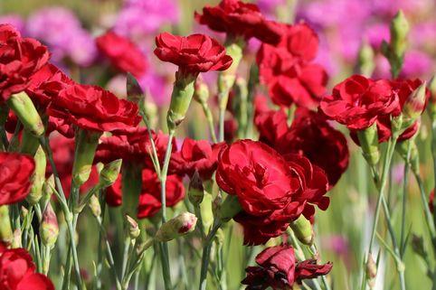 Feder-Nelke 'Desmond' - Dianthus plumarius 'Desmond'