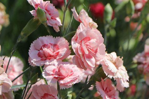 Feder-Nelke 'Doris' - Dianthus plumarius 'Doris'