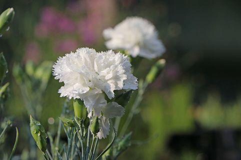 Feder-Nelke 'Haytor White' - Dianthus plumarius 'Haytor White'