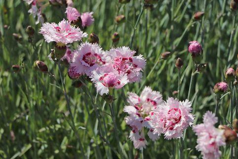 Feder-Nelke 'Ine' - Dianthus plumarius 'Ine'