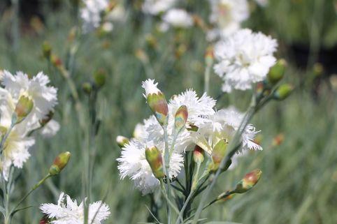 Feder-Nelke 'Maischnee' - Dianthus plumarius 'Maischnee'