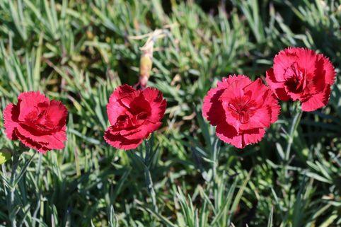 Feder-Nelke 'Munot' - Dianthus plumarius 'Munot'