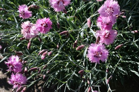 Feder-Nelke 'Roseus' - Dianthus plumarius 'Roseus'