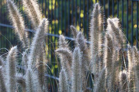 Federborstengras 'Compressum' - Pennisetum alopecuroides 'Compressum'