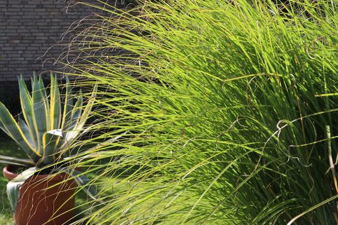 Federborstengras 'Japonicum' - Pennisetum alopecuroides 'Japonicum'