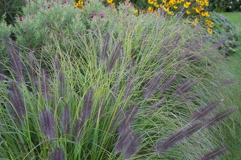 Federborstengras 'Moudry' - Pennisetum alopecuroides 'Moudry'