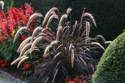 Federborstengras 'Rubrum' - Pennisetum setaceum 'Rubrum'