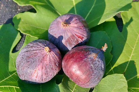 Feige - Ficus carica