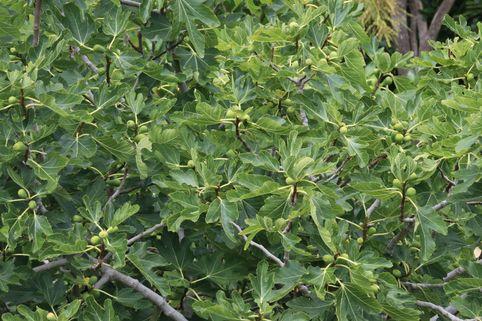 Feige 'Osborn Profilic' - Ficus carica 'Osborn Profilic'