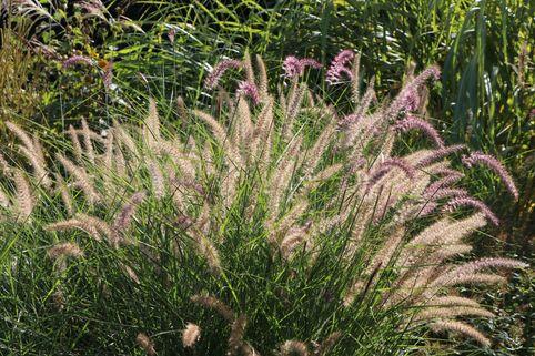 Feines Federborstengras 'Karley Rose' - Pennisetum orientale 'Karley Rose'