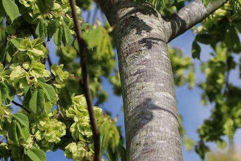 Feldulme - Ulmus carpinifolia