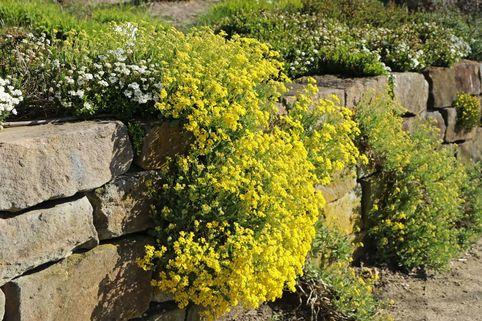 Felsen-Steinkraut - Alyssum saxatile