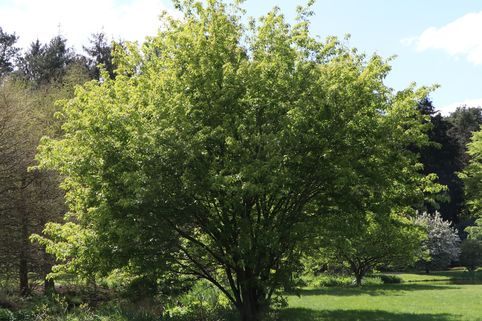 Feuerahorn - Acer ginnala