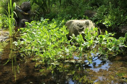 Fieberklee - Menyanthes trifoliata