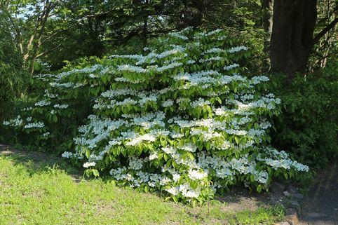 Filziger Japanischer Schneeball - Viburnum plicatum var. tomentosum