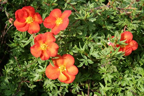 Fingerstrauch 'Marian Red Robin' ® - Potentilla 'Marian Red Robin' ®