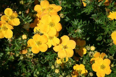 Fingerstrauch 'Orangeschimmer' - Potentilla fruticosa 'Orangeschimmer'