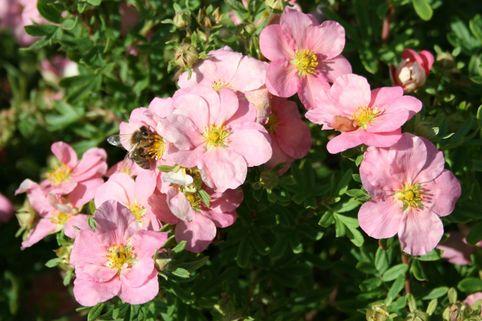 Fingerstrauch / Potentille 'Lovely Pink' - Potentilla 'Lovely Pink'