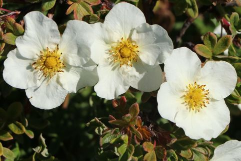 Fingerstrauch 'Tilford Cream' - Potentilla 'Tilford Cream'