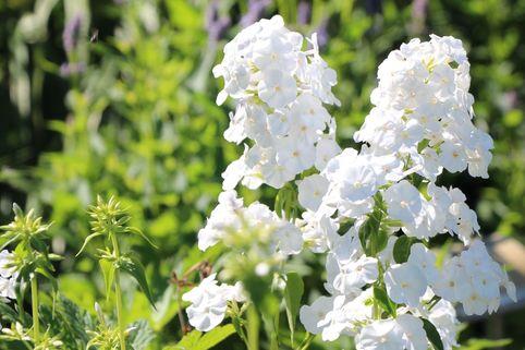 Hohe Flammenblume 'Alba' - Phlox paniculata 'Alba'