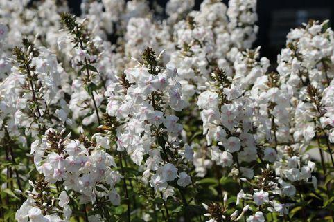 Flammenblume 'Delta' - Phlox maculata 'Delta'