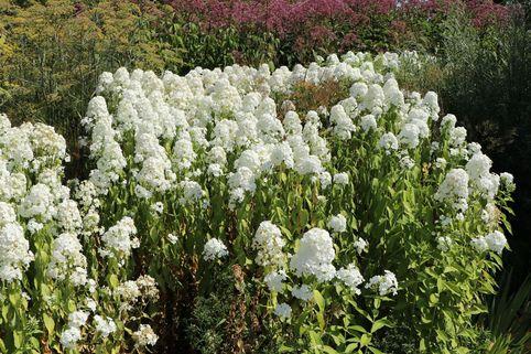 Flammenblume 'Mrs Lingard' - Phlox maculata 'Mrs Lingard'