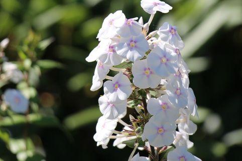 Flammenblume 'Omega' - Phlox maculata 'Omega'