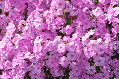 Flammenblume 'Rosalinde' - Phlox maculata 'Rosalinde'