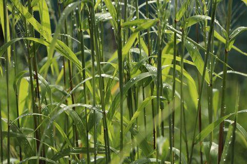 Flaschenbürsten Gras - Hystrix patula